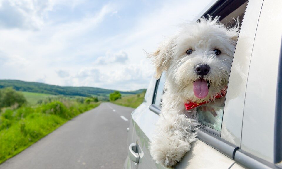 A dog seeing car windrow